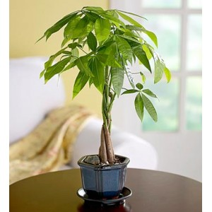 The Feng Shui Money Tree