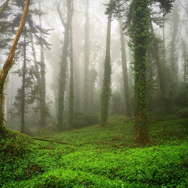Monday morning mist. #nature #hiking #tree #mothernature #dailypic #instamood #sf #presidio